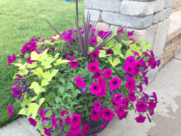 Petunias Outdoor Plants
