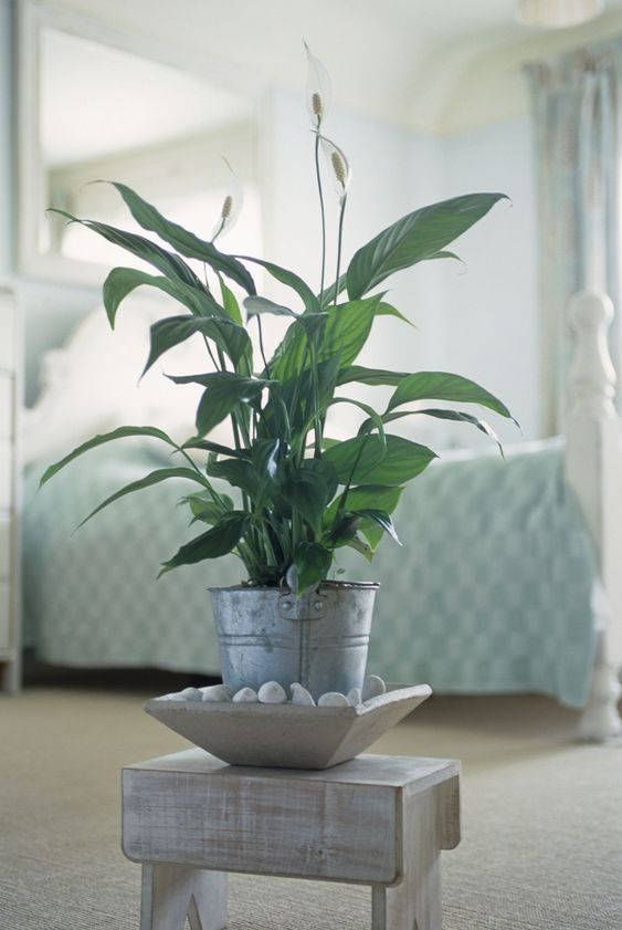 peace lily for sweet bedroom